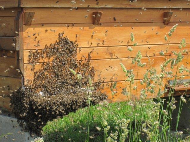 Zapowiada się przeprowadzka - pszczoły w nastroju rojowym