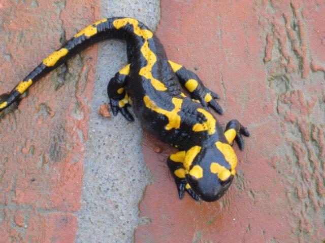 """Salamandry oglądają się za czymś """"przytulnym"""" na zimę"""